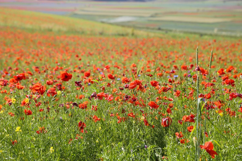 Castelluccio di Norcia : lo spettacolo della fioritura